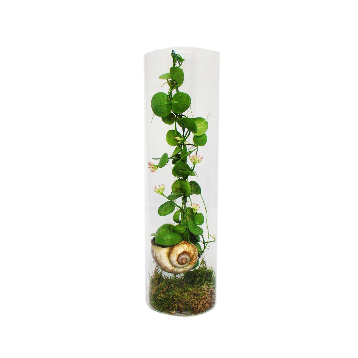 die schneckenhauspflanze snaily dischidia pectenoides im acrylglas zylinde. Black Bedroom Furniture Sets. Home Design Ideas
