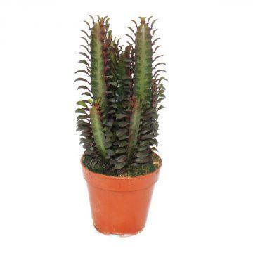 euphorbia trigona rubra mittelgrosse pflanze im 8 5cm. Black Bedroom Furniture Sets. Home Design Ideas
