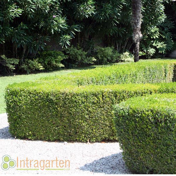 15 meter buchsbaum hecke 30 40 cm buxus niedrige heckenpflanzen. Black Bedroom Furniture Sets. Home Design Ideas