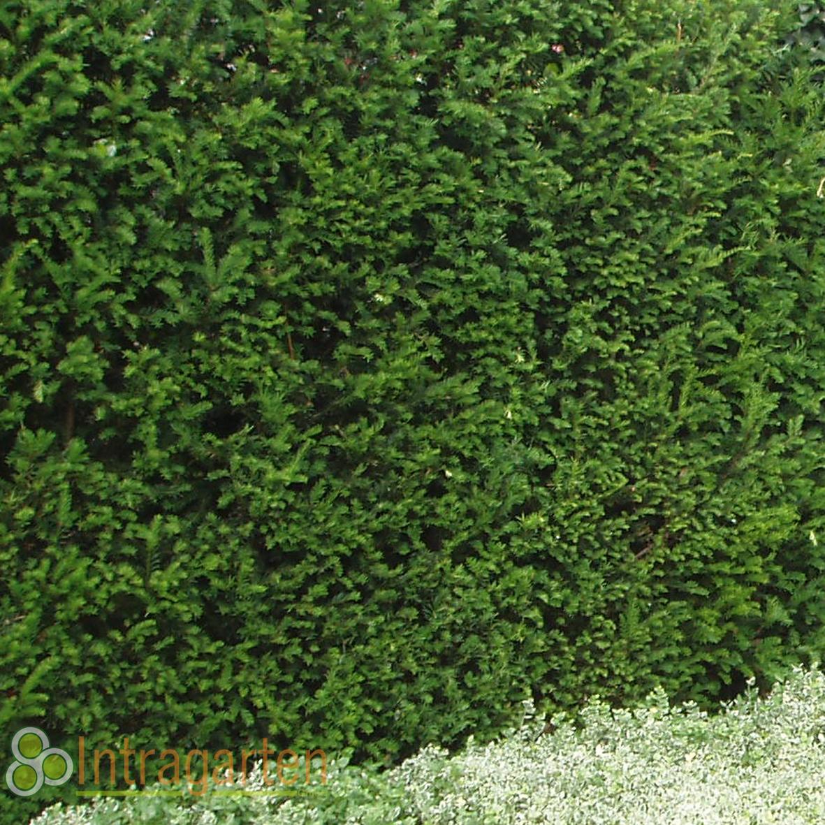 1 st ck taxus baccata heckenpflanze 50 70 cm immergr ne eiben hecke ebay