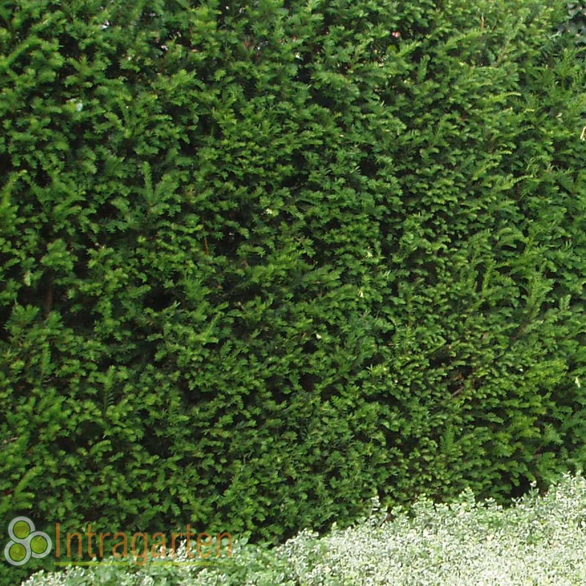 50 st ck taxus baccata heckenpflanze 50 70 cm immergr ne eiben hecke ebay. Black Bedroom Furniture Sets. Home Design Ideas