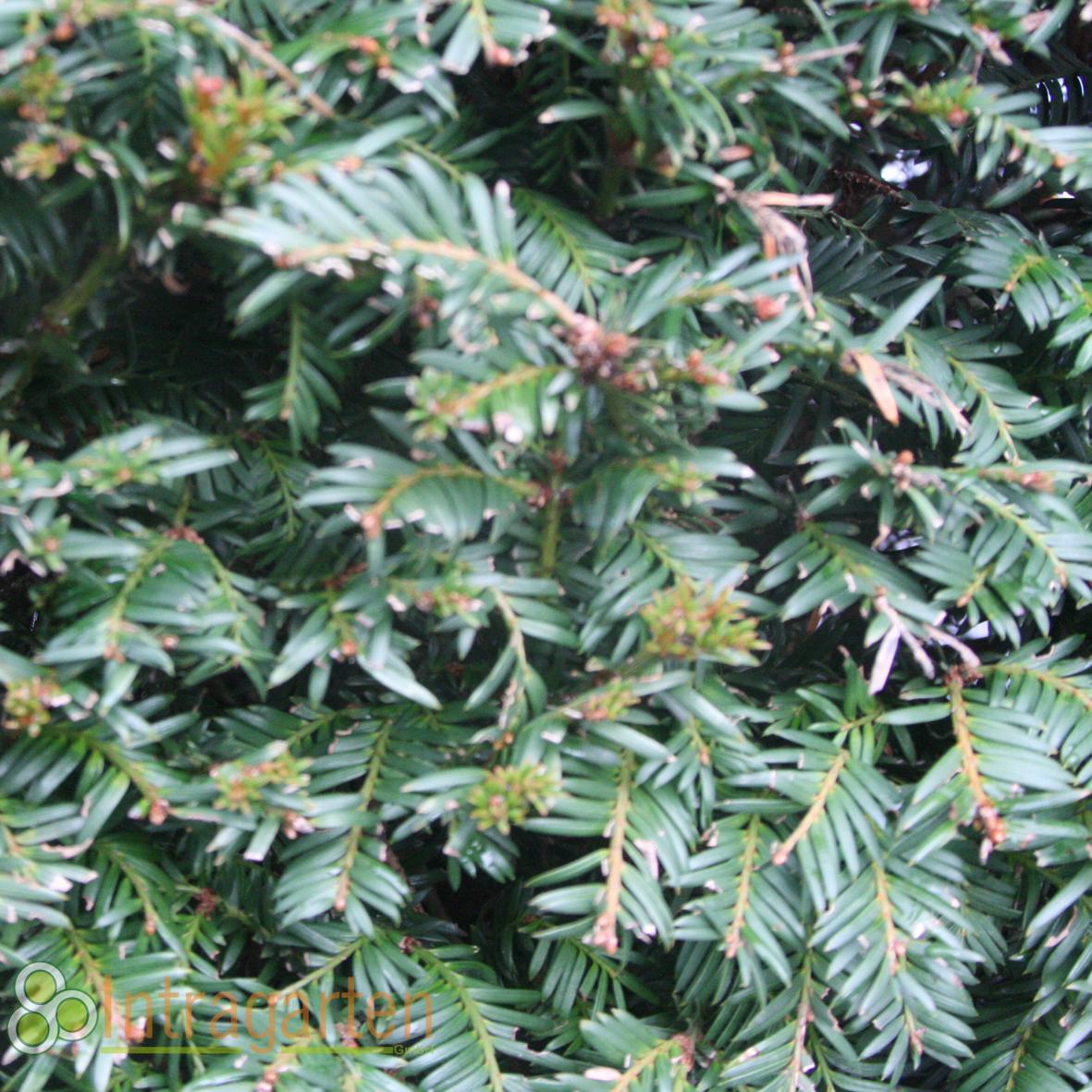 50 Stück Taxus Baccata Heckenpflanze 50 70 cm immergrüne Eiben