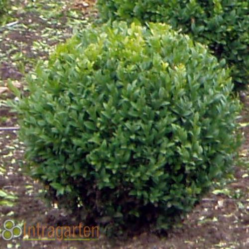 buchsbaum kugel 35 40 cm durchmesser buxus sempervirens ebay. Black Bedroom Furniture Sets. Home Design Ideas