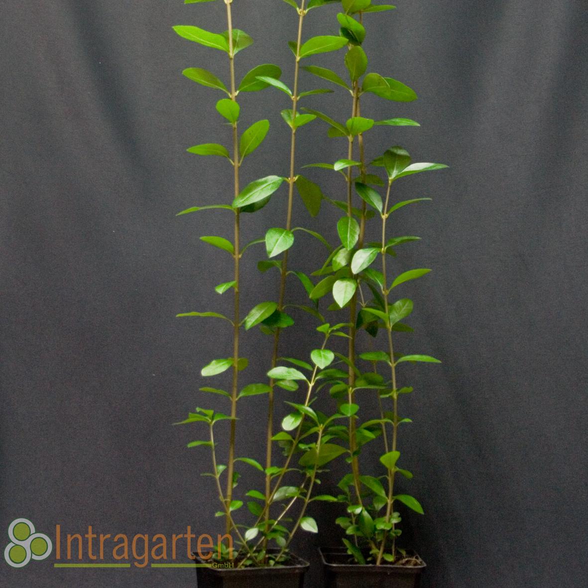 ligustrum ovalifolium heckenpflanze liguster schnell wachsende hecke 90 st ck ebay. Black Bedroom Furniture Sets. Home Design Ideas