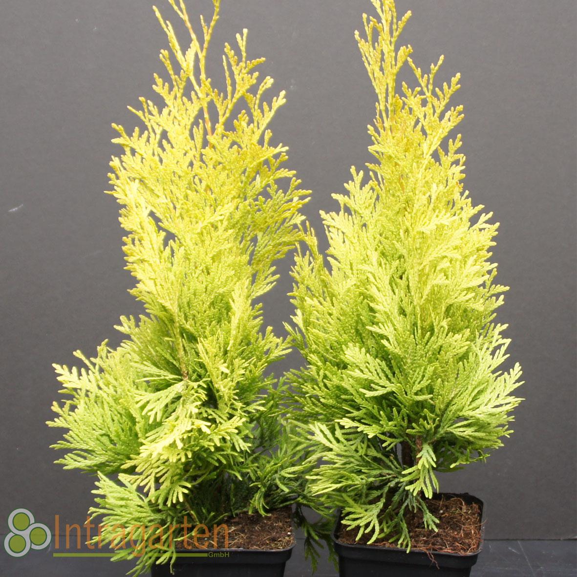 gelbe scheinzypresse chameacyparis stardust goldzypresse. Black Bedroom Furniture Sets. Home Design Ideas