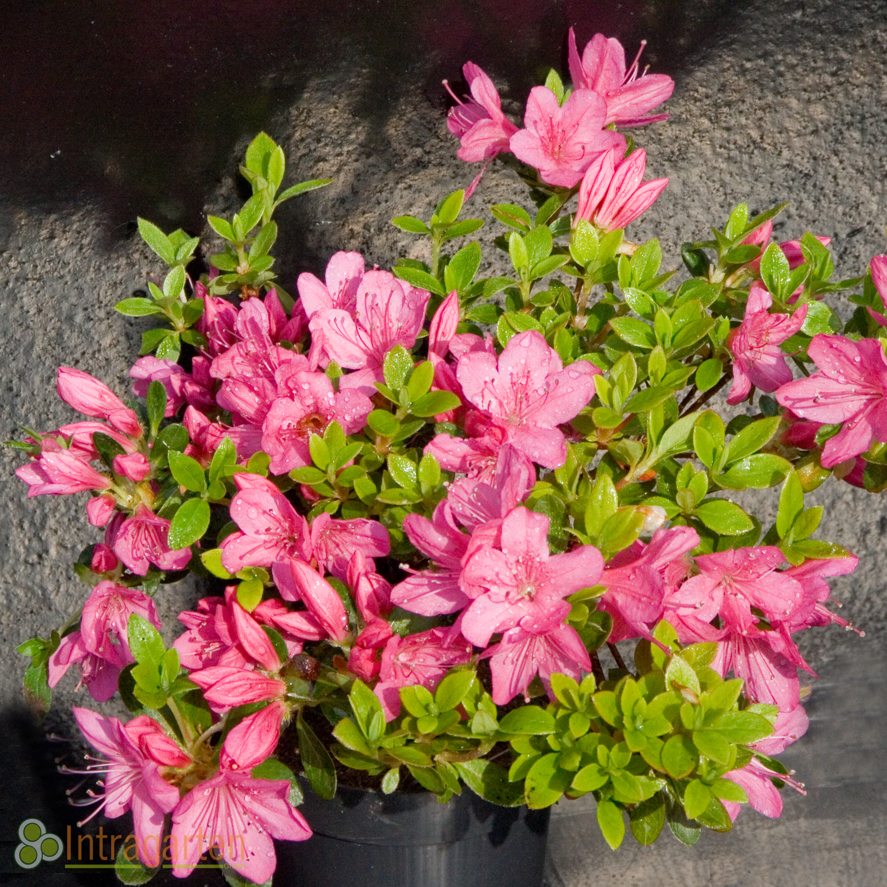 azalee 39 kermesina 39 rosa bl ten im topf rhododendron ebay. Black Bedroom Furniture Sets. Home Design Ideas