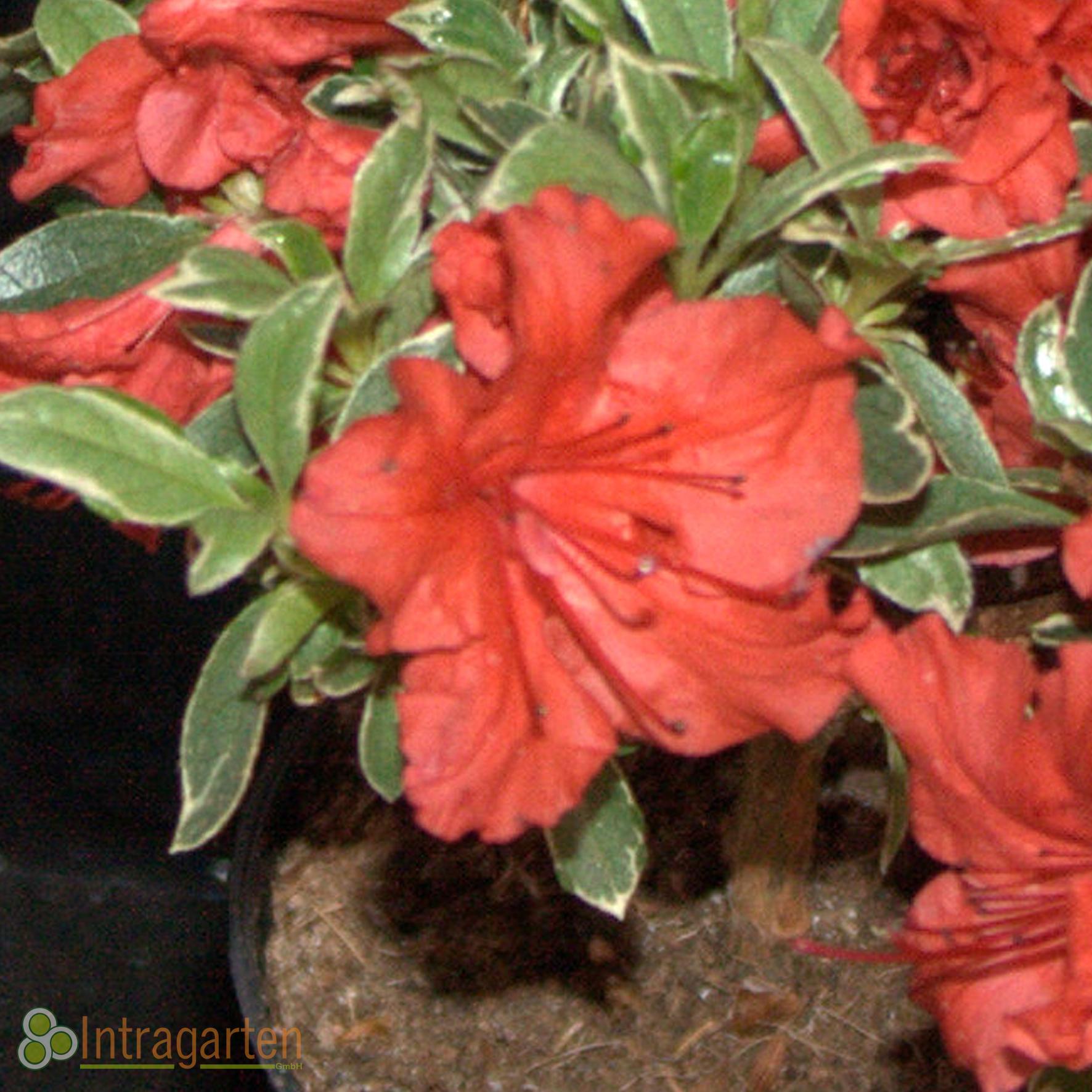 azalee 39 hotspur orange 39 rhododendron rot orangefarbenne. Black Bedroom Furniture Sets. Home Design Ideas