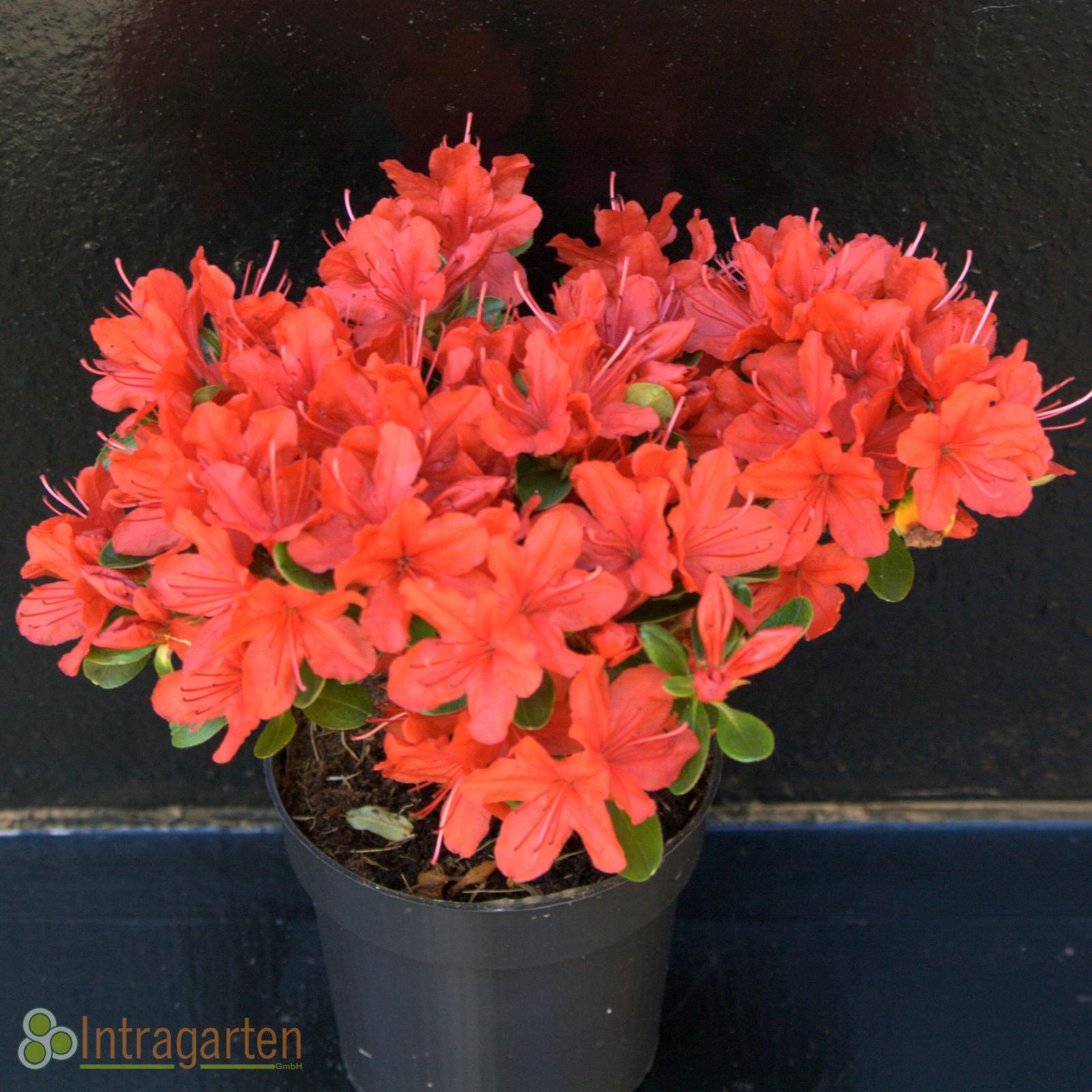 japanische azalee rhododendron ady wery rote bl ten im. Black Bedroom Furniture Sets. Home Design Ideas