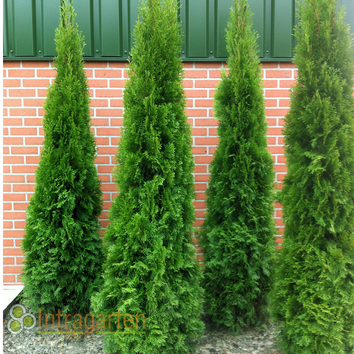 thuja occ smaragd 180 200 cm heckenpflanze lebensbaum f r eine hecke in in m nchengladbach ebay. Black Bedroom Furniture Sets. Home Design Ideas
