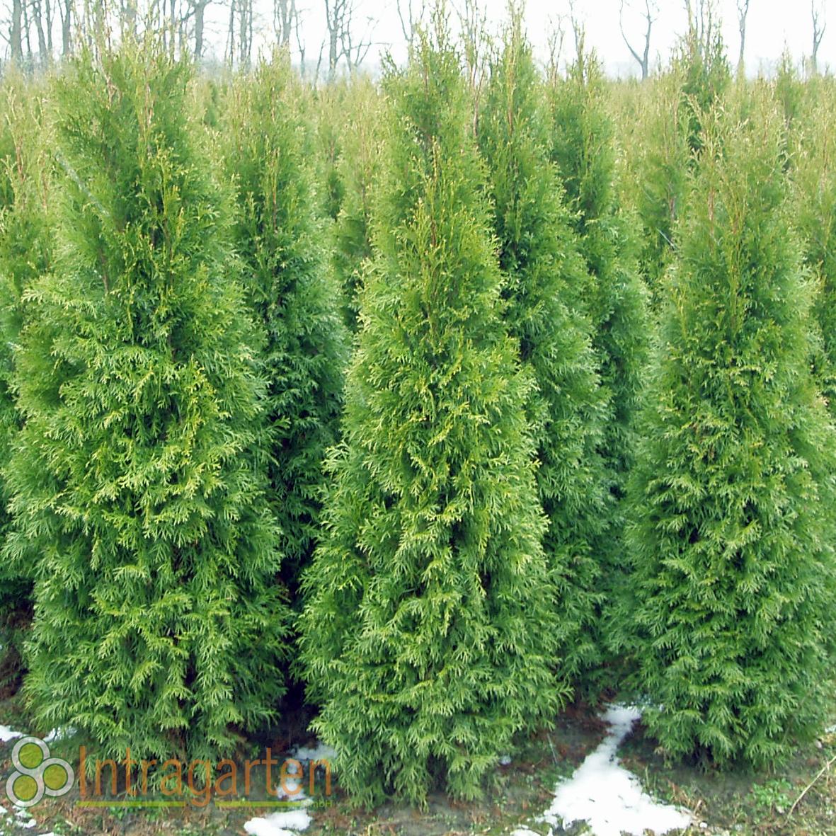 thuja occ smaragd 160 180 cm heckenpflanze lebensbaum f r eine hecke ebay. Black Bedroom Furniture Sets. Home Design Ideas