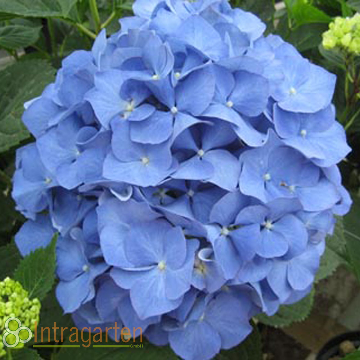 bauernhortensie in blau hydrangea macrophylla hortensie. Black Bedroom Furniture Sets. Home Design Ideas