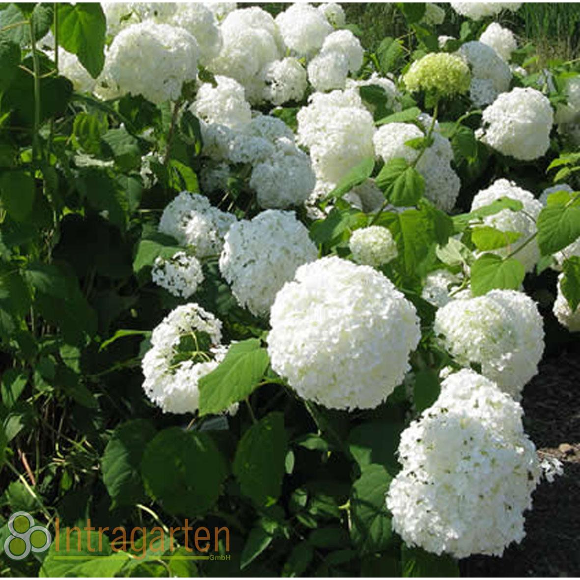 bauernhortensie in weiss hydrangea macrophylla hortensie. Black Bedroom Furniture Sets. Home Design Ideas
