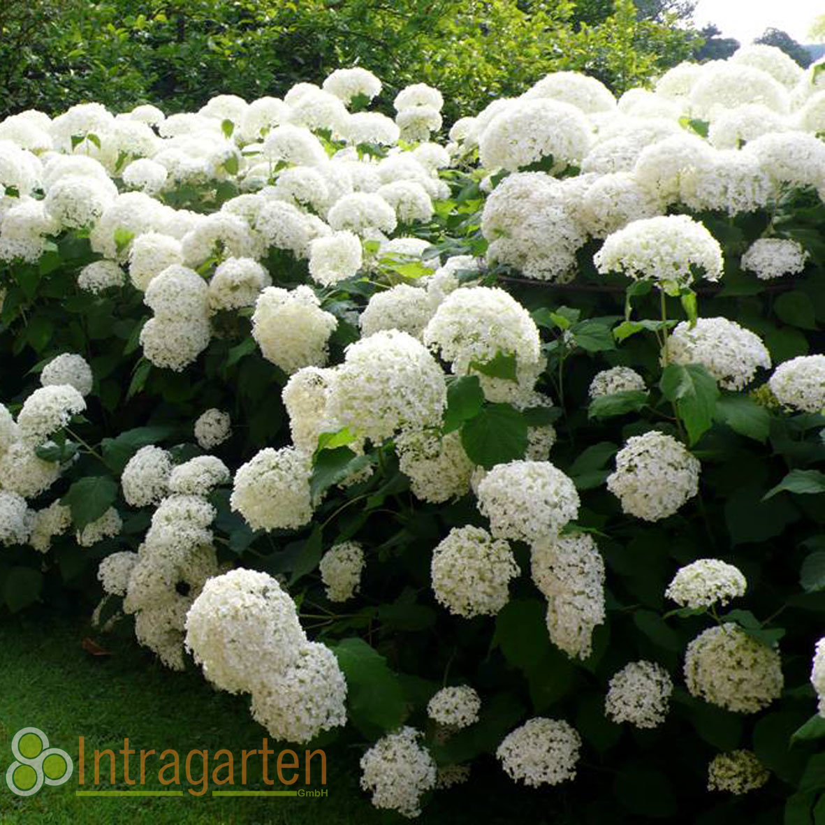 schneeball hortensie hydrangea annabelle im topf riesige. Black Bedroom Furniture Sets. Home Design Ideas