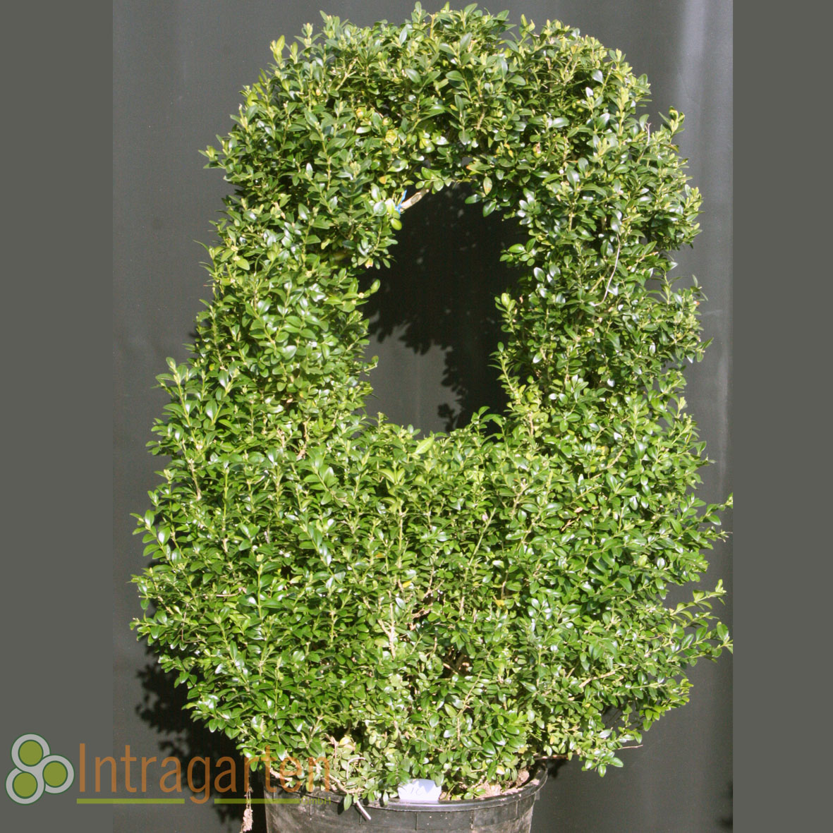Formschnitt buchsbaum ponpon korb bonsai 95 cm 10 ebay - Buchsbaum formschnitt ...