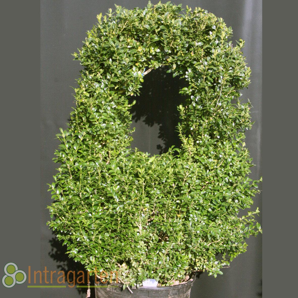 formschnitt buchsbaum ponpon korb bonsai 95 cm 10 ebay. Black Bedroom Furniture Sets. Home Design Ideas