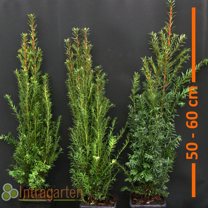 eiben heckenpflanze taxus baccata im topf f r eine. Black Bedroom Furniture Sets. Home Design Ideas