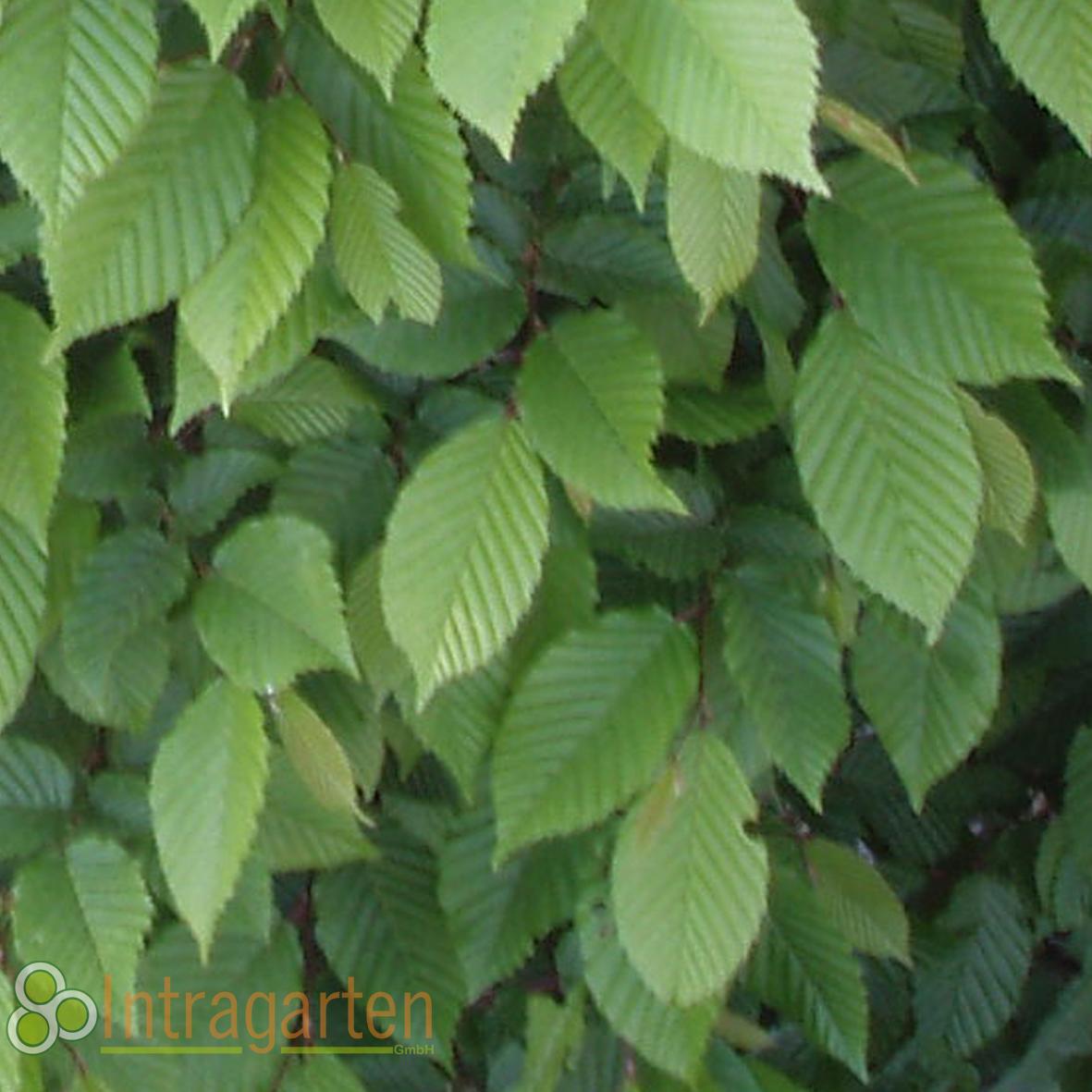 10 st ck carpinus betulus heckenpflanze hainbuche f r eine hecke weisbuche ebay. Black Bedroom Furniture Sets. Home Design Ideas