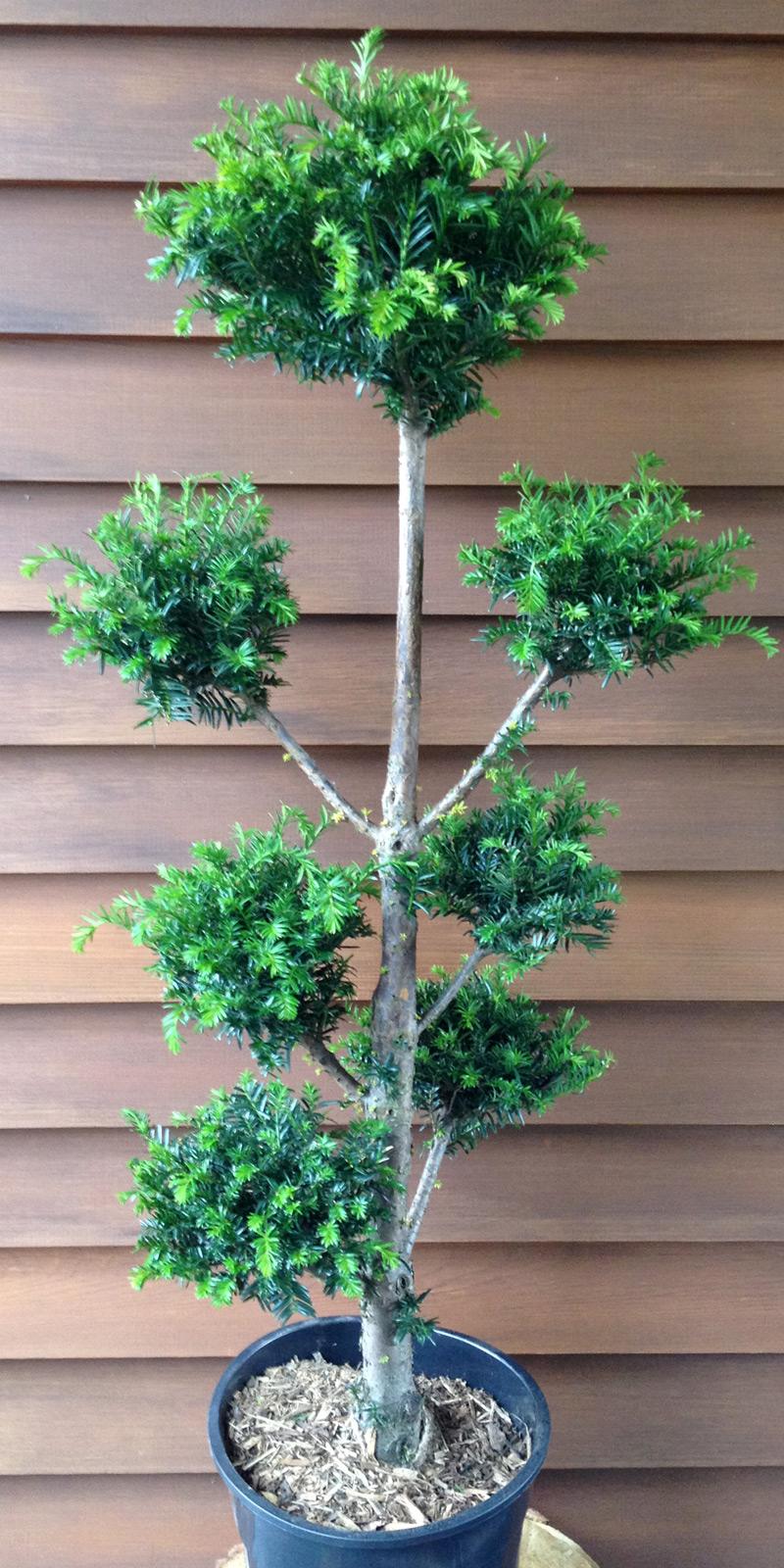 taxus multikugel oder eibe ponpon formschnitt bonsai ebay. Black Bedroom Furniture Sets. Home Design Ideas