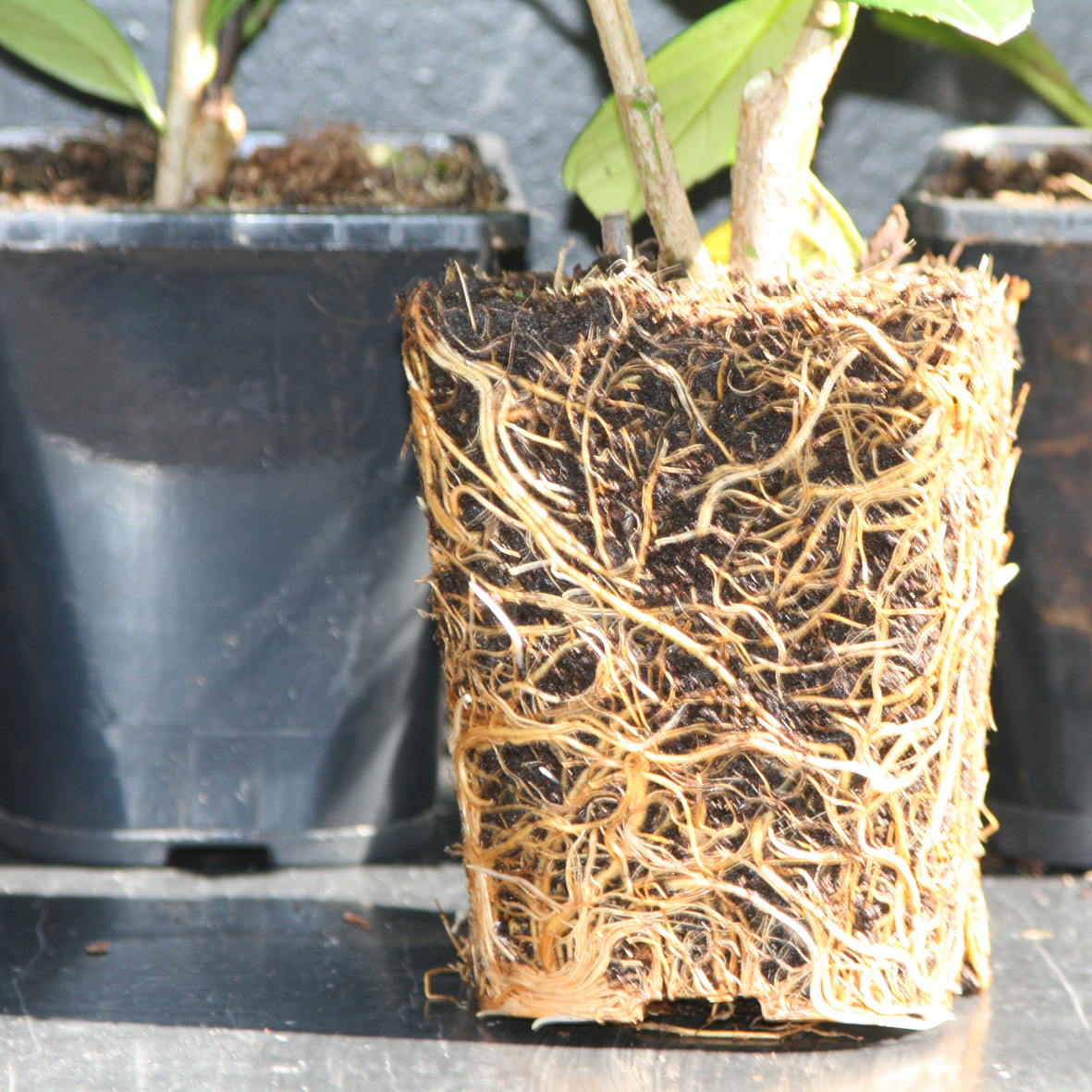 kirschlorbeer novita heckenpflanze immergr n und winterhart 50 60 cm ebay. Black Bedroom Furniture Sets. Home Design Ideas