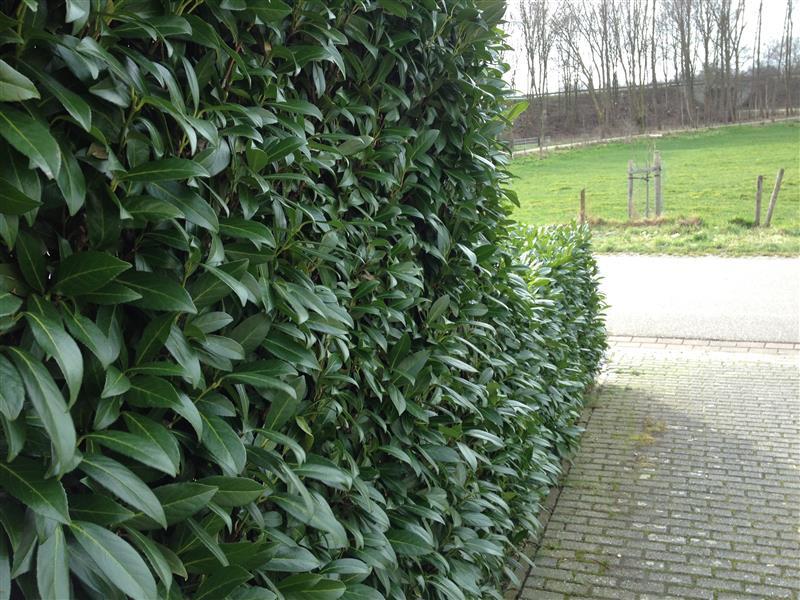 90 stuck prunus herbergii heckenpflanze immergr n und winterhart hecke ebay. Black Bedroom Furniture Sets. Home Design Ideas