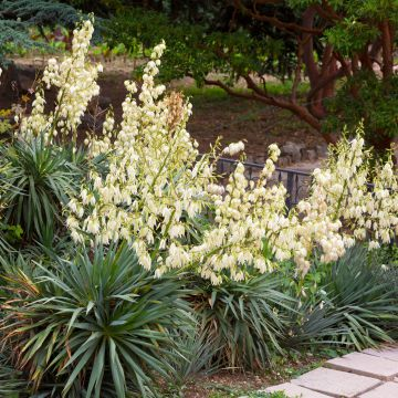 garten yucca winterharte agavengew chsen yucca filamentosa. Black Bedroom Furniture Sets. Home Design Ideas