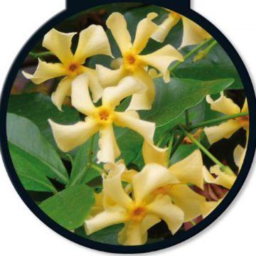 5 st ck trachelospermum jasminoides selbra oder gelbe. Black Bedroom Furniture Sets. Home Design Ideas