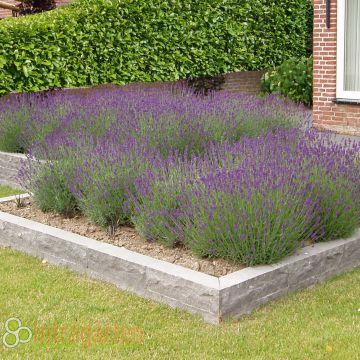 lavendel angustifolia 39 mundstead 39 d ftende pflanze winterhart ebay. Black Bedroom Furniture Sets. Home Design Ideas