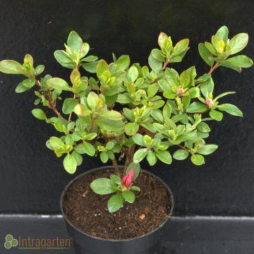 japanische azalee rhododendron ady wery winterharte azalea. Black Bedroom Furniture Sets. Home Design Ideas