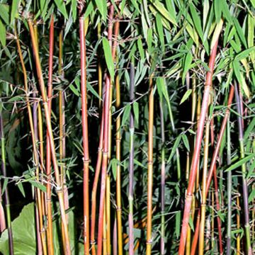 bambus fargesia jiushaigou oder roter bambus im 11 cm topf. Black Bedroom Furniture Sets. Home Design Ideas