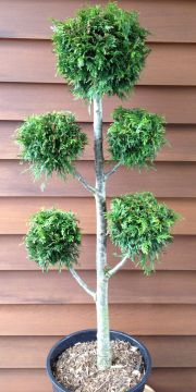 thuja plicata ponpon lebensbaum hochstamm formschnitt. Black Bedroom Furniture Sets. Home Design Ideas