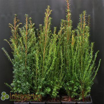 100 st ck eibe immergr netaxus baccata im topf heckenpflanze 40 60 cm ebay. Black Bedroom Furniture Sets. Home Design Ideas