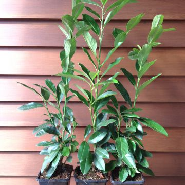 100 st ck kirschlorbeer 39 caucasica 39 heckenpflanze 40 60 cm. Black Bedroom Furniture Sets. Home Design Ideas