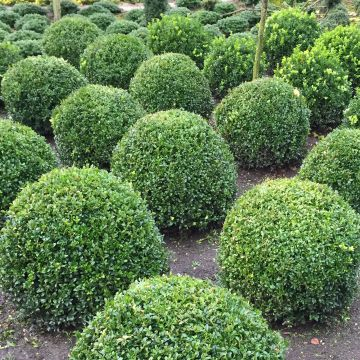 buchsbaum kugel 40 cm durchmesser formschnitt buxus sempervirens ebay. Black Bedroom Furniture Sets. Home Design Ideas