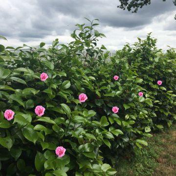 5 st ck kamelie rosa bluten 30 40 cm im topf camellia japonica rosa heckeplfanze ebay. Black Bedroom Furniture Sets. Home Design Ideas