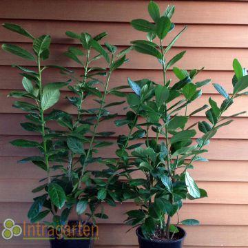 kirschlorbeer 39 novita 39 winterharte heckenpflanze prunus 80. Black Bedroom Furniture Sets. Home Design Ideas
