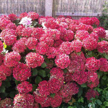 hydrangea macrophylla hortensie rote bl ten bauernhortensie rot im topf ebay. Black Bedroom Furniture Sets. Home Design Ideas