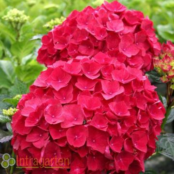 hydrangea macrophylla hortensie rote bl ten bauernhortensie rot im topf ebay. Black Bedroom Furniture Sets. Home Design Ideas
