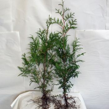 300 stk thuja occidentalis abendl ndischer lebensbaum. Black Bedroom Furniture Sets. Home Design Ideas
