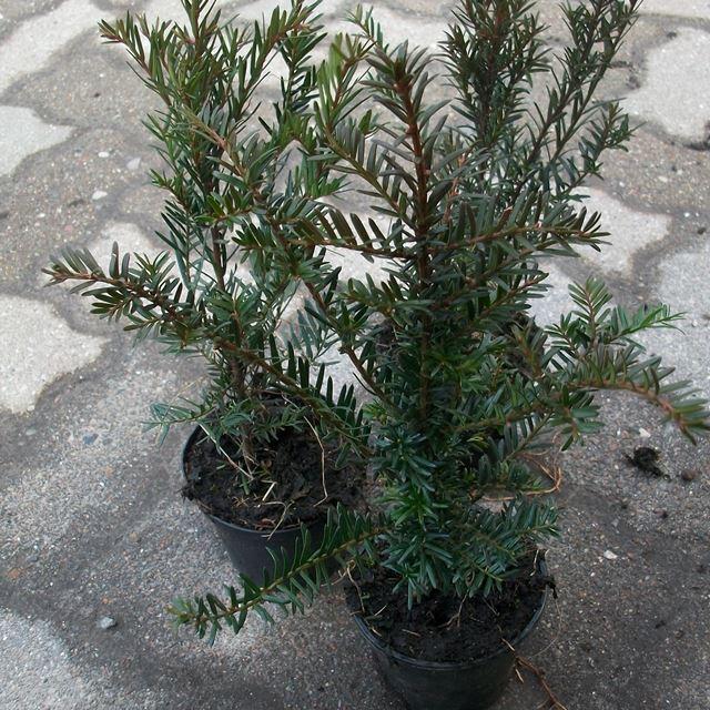 50 st eibe heckenpflanzen taxus baccata heimische eibe topfware 15 30 cm ebay. Black Bedroom Furniture Sets. Home Design Ideas