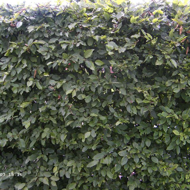 25 st hainbuche carpinus betulus wei buchen wurzelware. Black Bedroom Furniture Sets. Home Design Ideas