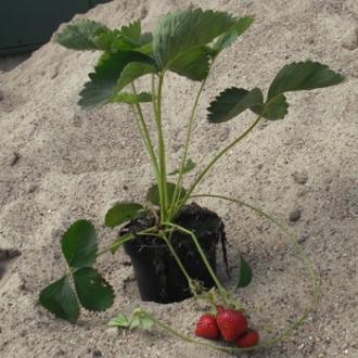 20 st ck erdbeeren 39 honeoye 39 erdbeerpflanze beerenobst im topf 15 20cm ebay. Black Bedroom Furniture Sets. Home Design Ideas
