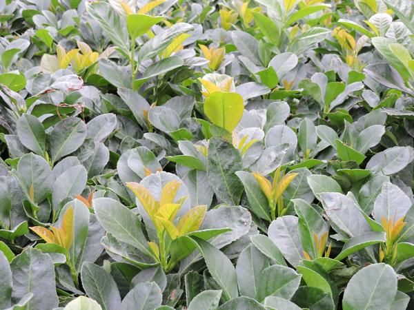 50 stk kirschlorbeer 39 etna 39 heckenpflanze prunus lauroc. Black Bedroom Furniture Sets. Home Design Ideas